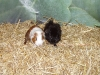 Baby bunnies and guinea pigs 11th