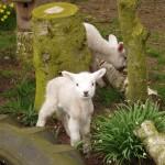 Jenny lamb